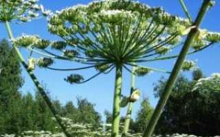 Растение борщевик: полезные свойства и вред