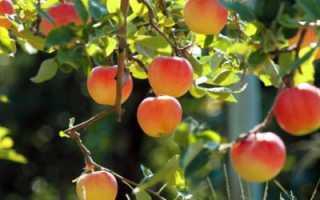 Парша на яблоне — как бороться — это важно знать