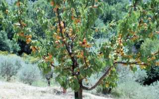 Уход за абрикосом весной — это важно знать