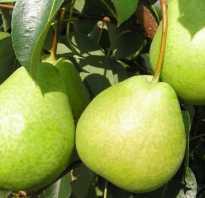 Груша Кудесница — описание сорта, фото, отзывы садоводов