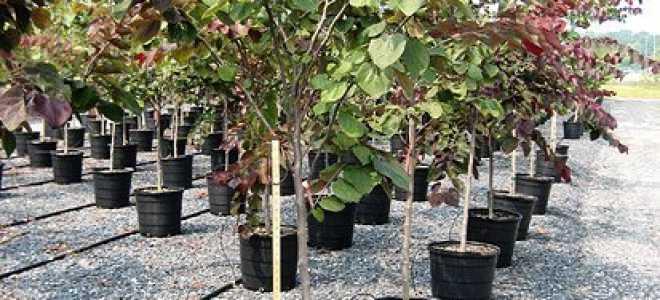 Как выбрать саженцы плодовых деревьев?