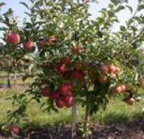Яблоня Чемпион — описание сорта, фото, отзывы