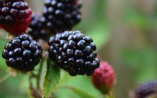 Весенняя обрезка ежевики садовой