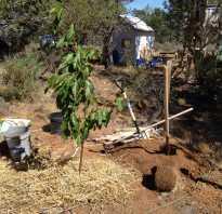 Посадка черешни весной — отвечаем на вопросы дачников