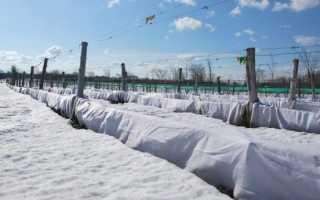 Как укрыть виноград на зиму в Подмосковье?