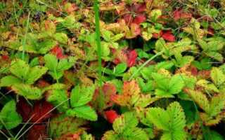 Почему краснеют листья у клубники — что делать?