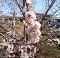 Обработка абрикоса от вредителей после цветения — отвечаем на вопросы дачников