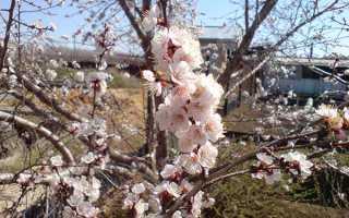 Полив абрикоса весной