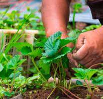 Чем весной обработать клубнику?