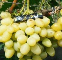 Виноград Лора: описание сорта, фото и отзывы садоводов