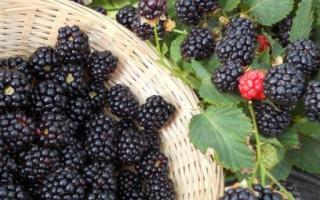 Ежевика Трипл Краун — описание сорта, характеристика, выращивание, фото и отзывы