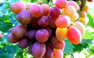 Выращивание винограда и уход в средней полосе