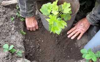 Посадка винограда в Подмосковье весной