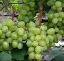 Виноград Восторг: описание сорта, фото и отзывы садоводов