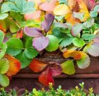 У клубники красные листья — что делать?