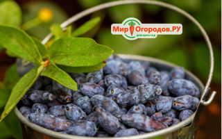 Жимолость Уральская — описание сорта, отзывы и фото