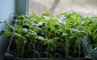 Как посеять и вырастить рассаду томатов в домашних условиях