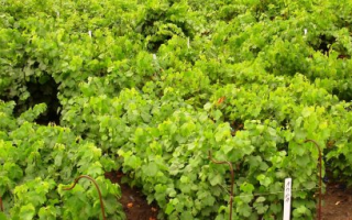Посадка винограда в Беларуси весной