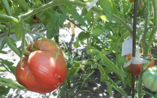 Томат Абаканский Розовый — описание сорта, отзывы, урожайность