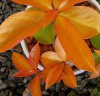 Растение переския: особенности ухода за листовым кактусом