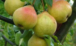 Груша Яковлева — описание сорта, фото, отзывы садоводов