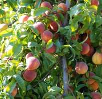 Обрезка старых персиков