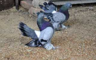 Различные виды статных голубей