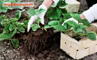 Как осенью пересадить клубнику — основные правила