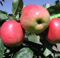 Яблоня Скала — описание сорта, фото, отзывы