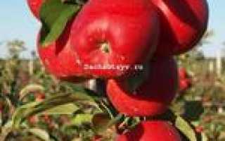 Яблоня Гала Маст — описание сорта, фото, отзывы