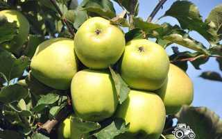Яблоня Мутсу — описание сорта, фото, отзывы