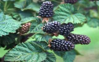 Ежевика Ред Даймонд — описание сорта, характеристика, выращивание, фото и отзывы