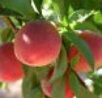 Почему опадают листья у персика?