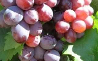 Виноград Волжский: описание сорта, фото и отзывы садоводов