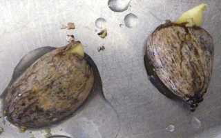 Плод рамбутан: полезные свойства и посадка косточки