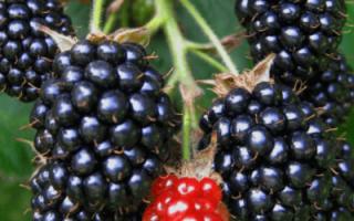 Как посадить ежевику осенью саженцами?