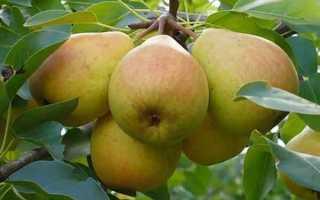 Груша Елена — описание сорта, фото, отзывы садоводов