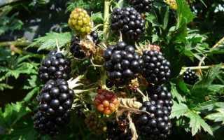 Ежевика Мертон Торнлесс — описание сорта, характеристика, выращивание, фото и отзывы