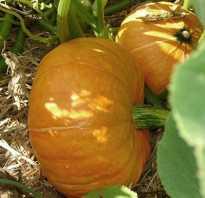 Выращивание тыквы и уход в открытом грунте в Подмосковье