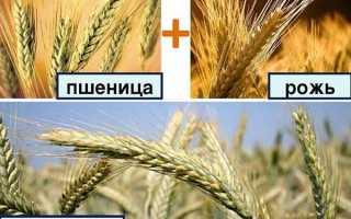 Тритикале: описание и выращивание гибрида ржи и пшеницы