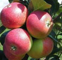 Яблоня Елена — описание сорта, фото, отзывы