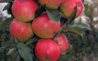 Колоновидная яблоня Валюта — описание сорта, фото, отзывы