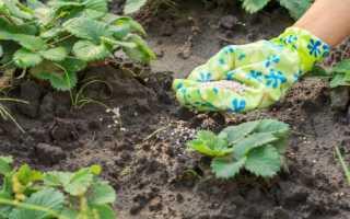 Чем удобрять клубнику осенью для лучшего урожая?