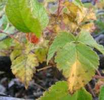 Вредители малины в картинках и борьба с ними