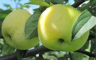 Яблоня Антоновка — описание сорта, фото, отзывы
