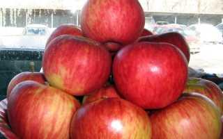 Яблоня Апорт — описание сорта, фото, отзывы