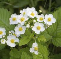 Удобрение клубники во время цветения