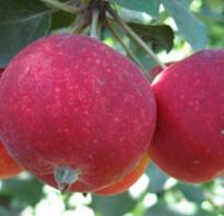 Яблоня Алтайское Багряное — описание сорта, фото, отзывы