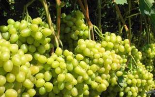 Виноград Аркадия: описание сорта, фото и отзывы садоводов