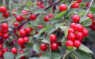 Войлочная вишня: уход, выращивание и обрезка